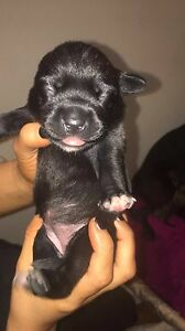 Labrador x staffy Mill Park Whittlesea Area Preview