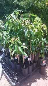 MANGO TREES    $45 AVOCADOS   $50 Midvale Mundaring Area Preview