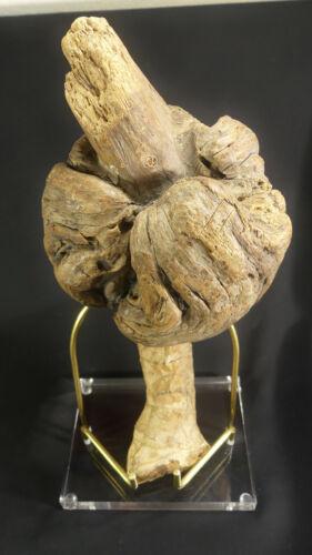 X-RARE Penobscot, Maine, Shaman's Spirit Totem made of Burl Wood with Pyrographs