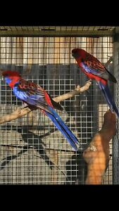 Pair Crimson Rosellas