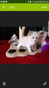 ragdoll kittens Kingston Logan Area Preview