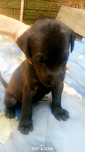 Puppies for sale Rossmore Liverpool Area Preview