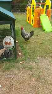 Free Rooster Beachmere Caboolture Area Preview