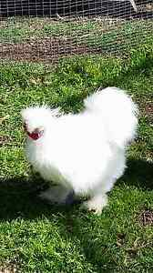 Silkie bantam Muswellbrook Muswellbrook Area Preview