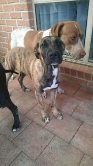 6 month old bull Arab X free to good home  Bonnells Bay Lake Macquarie Area Preview