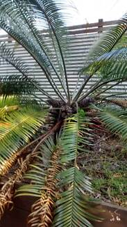 Cycad - Two mature cycads for sale - Make me an Offer Stafford Brisbane North West Preview