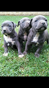 American Staffordshire terrier pups Melbourne CBD Melbourne City Preview