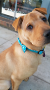 6 Month Old Puppy Hazelwood Park Burnside Area Preview