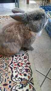 Bunny looking for new home Yokine Stirling Area Preview