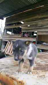 Kelpie x collie pups 1 grey and tan 1 black and white Oakwood Inverell Area Preview