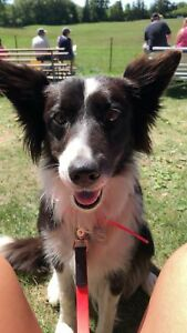 Looking for Border Collie sire