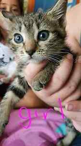 Free kittens ready to go now! Leppington Camden Area Preview