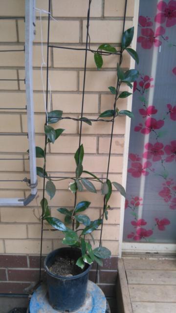 Large Hoya Plant For Sale Plants Gumtree Australia Salisbury Area