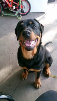 STOLEN... My rottie his microchip.  Weston Cessnock Area Preview