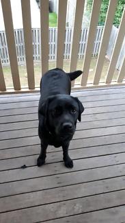 Labrador pedigree.