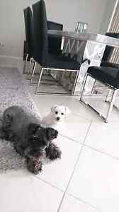 2 miniature schnauzers Tapping Wanneroo Area Preview