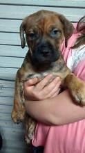 ROTTWEILER X MASTIFF X JOHNSON BULLDOG-FANTASTIC FAMILY&GUARD DOG Caloundra Caloundra Area Preview