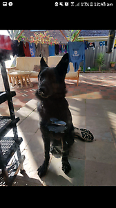 All black German Shepard 7 Months!! St Albans Brimbank Area Preview