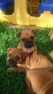 English Staffordshire bull terriers puppies