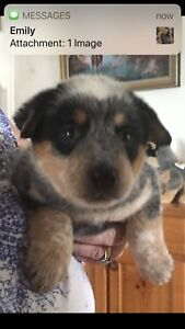 Registered Australia Cattle Dog puppy's