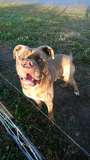 Con Corso (Italian) Bullmastiff 2 years old. NEEDS NEW HOME ASAP