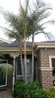 Palm tree - unknown type  Beaconsfield Cardinia Area Preview