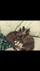 Kittens desexed,vaccinated,microchipped Bracken Ridge Brisbane North East Preview