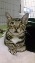 Adopt a rescue kitten this Saturday @ PET O Annandale ( WLPA) Annandale Leichhardt Area Preview