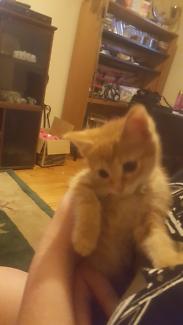 Ginger kitten pluss accessories