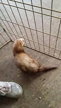male ferret not desexed Midland Swan Area Preview