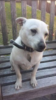Chihuahua cross Mini Foxie Desexed Male - White Short Coat Kareela Sutherland Area Preview