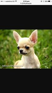 Looking for a male Chihuahua Melbourne CBD Melbourne City Preview