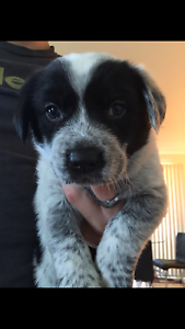 Neo mastiff - Border Collie CROSS Australian Blue cattle dog Cessnock Cessnock Area Preview
