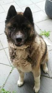 Akita male dog Newton Campbelltown Area Preview
