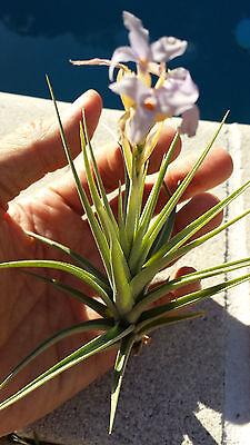 Bromeliad Tillandsia bergeri Exotic Tropical Air - Exotic Bromeliad Plant