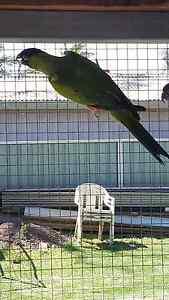 Bonded pair Nanday conures Albion Park Rail Shellharbour Area Preview