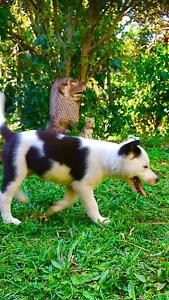 Border collie x blue heeler Indooroopilly Brisbane South West Preview
