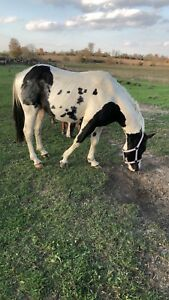 Rescue Paint pony stud for sale!