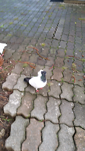Nun pigeons for sale Lane Cove West Lane Cove Area Preview