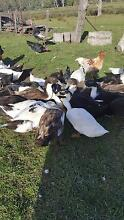 Ducks - Peking Runner Crosses Buckland Glamorgan Area Preview