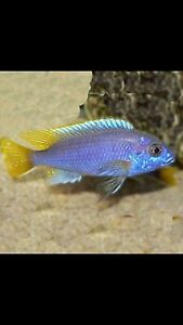 Yellow tail acei for sale Liverpool Liverpool Area Preview