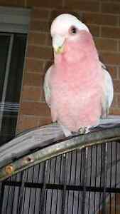 Baby galah veryyy young and healthy  soo friendly Casula Liverpool Area Preview
