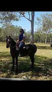 14.2hh Arab X Pony Gelding. Caboolture Caboolture Area Preview
