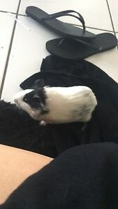 Guinea pig and cage/food/accessories for sale Darwin CBD Darwin City Preview