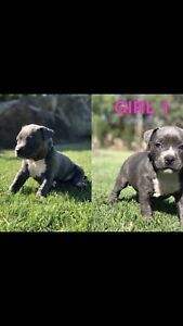American Staffy Pups For Sale