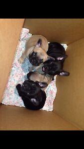 Championline French bulldog puppies