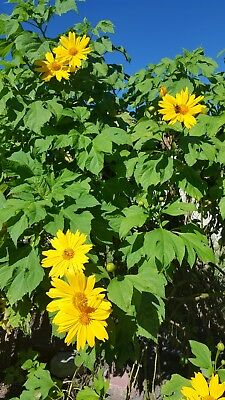 Mexican Sunflower Seeds - Yellow -100+ SEEDS  (Tithonia Speciosa Yellow Torch)