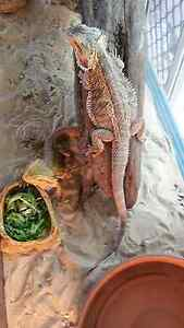 2 young  adult bearded dragons + tank on stand Trinity Park Cairns Area Preview