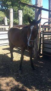 Stock horse colt Armidale Armidale City Preview