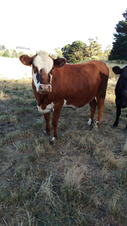 Hereford heifer x    &    Galloway x steer